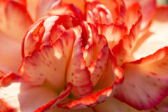 Carnation flower macro Stock Photography