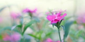 Carnation flower macro panorama Stock Image
