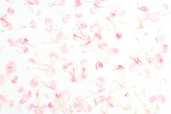 Carnation flower petals on white. Background stock photography