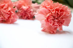 Carnation  flower  on white background with effect Royalty Free Stock Photos