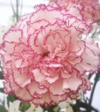 Carnation flower. It is a white carnation flower with pink borders. Also known as Clover Pink flower. Native to Mediterranean regions. Scientific name: Dianthus Royalty Free Stock Photography