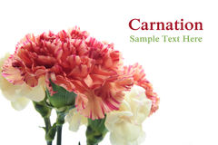 Carnation flowers Stock Photography