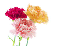Carnation flowers Royalty Free Stock Photo