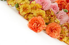 Carnation flowers Stock Image