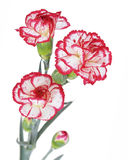 Carnation flowers. Isolated on white background Royalty Free Stock Photos