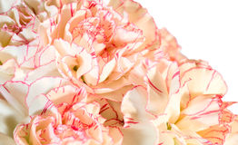 Carnation flowers background Stock Images