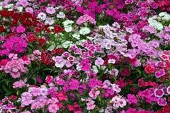 Carnation flowers background royalty free stock photo