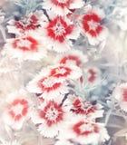 Carnation Flowers Background Stock Photography
