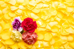 Carnation flowers. On a bright yellow rose petals Royalty Free Stock Photo