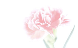Carnation flowers close up on background Stock Photos