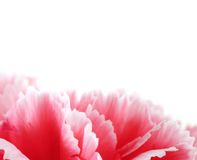 Carnation flowers close up on background.  Royalty Free Stock Photography
