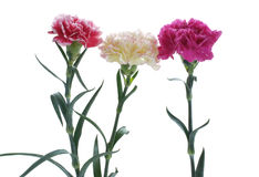 carnation flowers close up on background Stock Photo