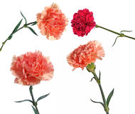 carnation flowers collection Stock Photo