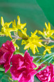 Carnation flowers and forsythia twig Royalty Free Stock Images