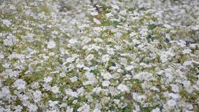Carnation. Flowers garden blown by wind and insect around stock footage