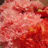 Carnation flowers royalty free stock image