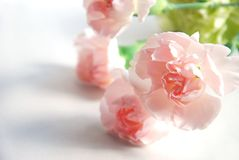 Carnation flowers Stock Images