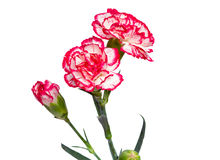 Carnation flowers on a white background. Stock Image