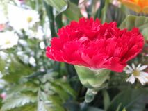 Carnation. Royalty Free Stock Photography