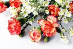 Carnation. Fresh vivid carnation on white background Royalty Free Stock Photo