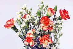 Carnation. Fresh carnation on white background Stock Photos