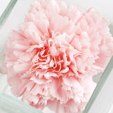 Carnation in glass vase Stock Images