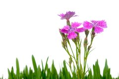 Carnation and green grass Stock Images