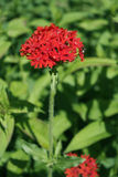 Carnation growing in the garden. S Royalty Free Stock Photography