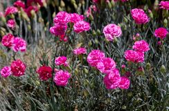 The carnation grows in garden stock image