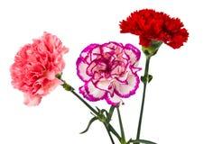 Beautiful carnation Royalty Free Stock Photos