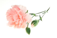 Carnation isolated on white. Light pink carnation isolated on white background Royalty Free Stock Images