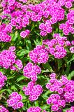 Carnation Japanese flower Dianthus Stock Photography