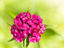 Carnation Royalty Free Stock Photography