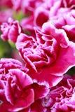 Carnation petals Royalty Free Stock Photo