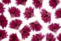 Carnation petals Stock Image
