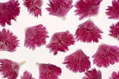 Carnation petals Stock Photos