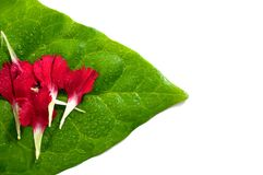 Carnation petals on green leaf Royalty Free Stock Photography