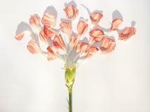 Carnation petals Stock Images