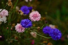 Carnation pink and blue Flower Fresh, Wildflower macro shot Royalty Free Stock Photos