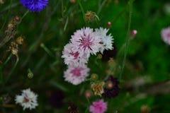 carnation pink Flower Fresh, Wildflower macro shot Royalty Free Stock Photo