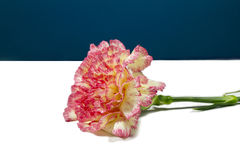 Carnation. A pink carnation flower on white and blue Royalty Free Stock Photography