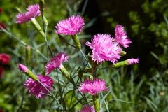 Carnation pink on a green grassy background in sunny day. royalty free stock image