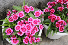 Carnation. Pink carnation in the pot Stock Photos