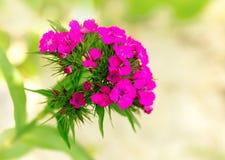 Carnation (Pinks) Royalty Free Stock Photos