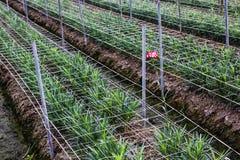 Carnation planting Royalty Free Stock Photo
