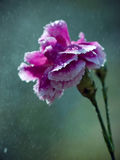 Carnation in the Rain. A blooming carnation caught in the rain Royalty Free Stock Image