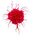 Carnation with splashes Stock Images