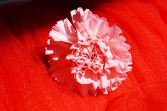 Carnation, symbol of delicacy. Beautiful pink carnation on an elegant red textured background, showing off the beauty and delicacy of nature Stock Images