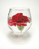 Carnation underwater. Red carnation in brandy glass with water Royalty Free Stock Photo