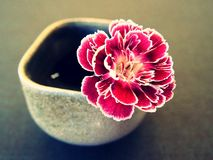 Carnation in a vase Stock Images